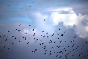 migrantbirds_C